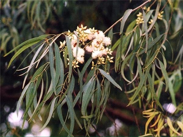 Sự thật: có một loài cây mọc ra vàng và nó có ở Việt Nam - Ảnh 3.
