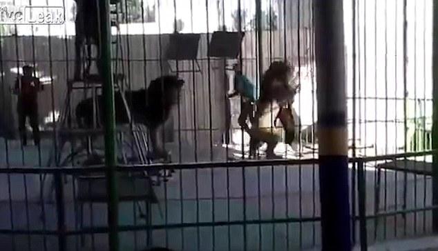 Khoảnh khắc kinh hãi khi người huấn luyện thú thiệt mạng sau khi bị sư tử vồ trong rạp xiếc - ảnh 1
