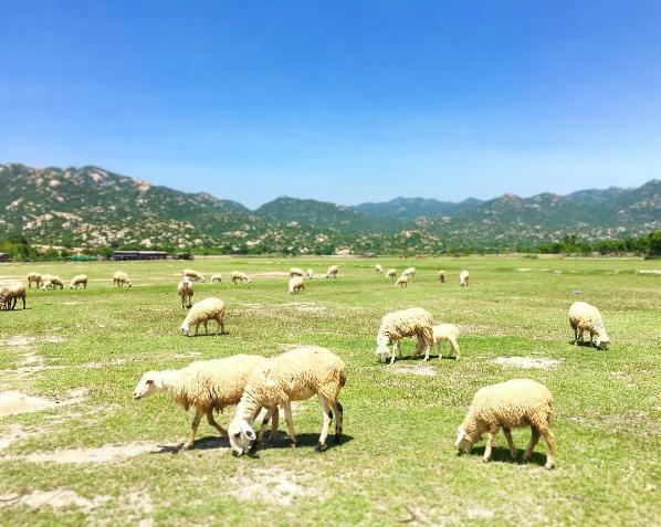 Ở Việt Nam có 3 cánh đồng nuôi cừu, tới đây ảnh có chụp kiểu gì cũng xinh! - Ảnh 1.