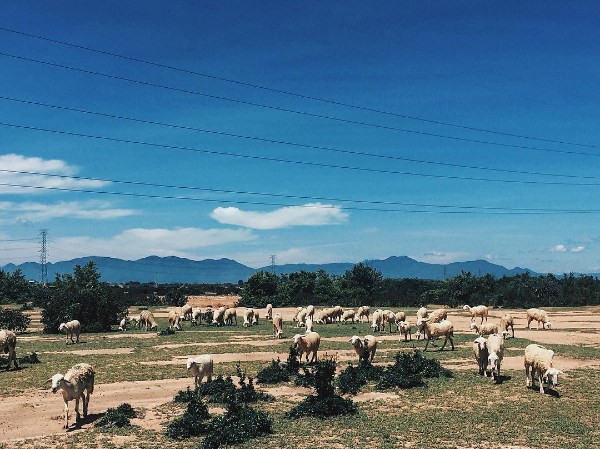 Ở Việt Nam có 3 cánh đồng nuôi cừu, tới đây ảnh có chụp kiểu gì cũng xinh! - Ảnh 2.