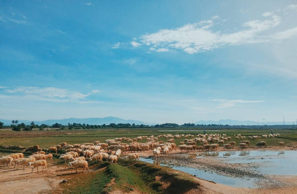 Ở Việt Nam có 3 cánh đồng nuôi cừu, tới đây ảnh có chụp kiểu gì cũng xinh! - Ảnh 3.