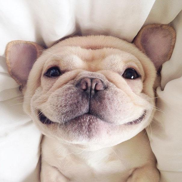 50 sắc thái đáng yêu khi ngủ của chú chó bull dễ thương nhất hệ Mặt Trời