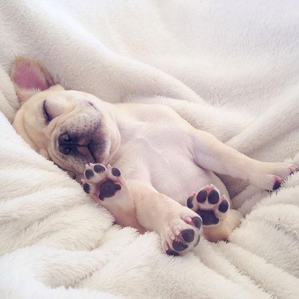 50 sắc thái đáng yêu khi ngủ của chú chó bull dễ thương nhất hệ Mặt Trời - Ảnh 3.