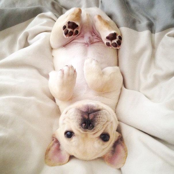50 sắc thái đáng yêu khi ngủ của chú chó bull dễ thương nhất hệ Mặt Trời - Ảnh 13.