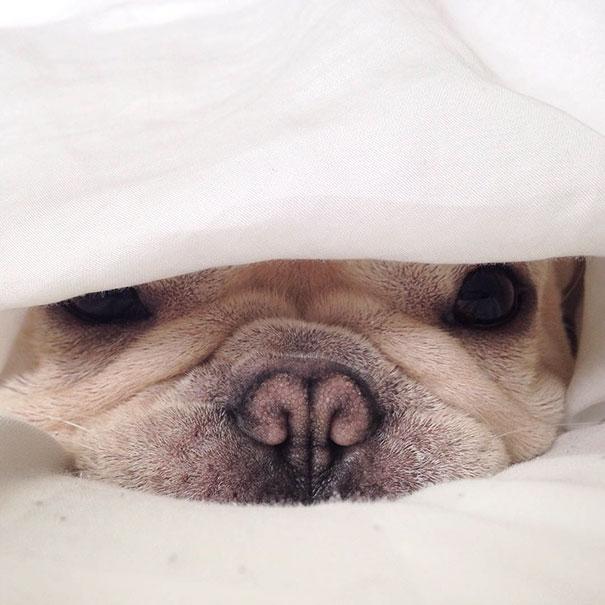 50 sắc thái đáng yêu khi ngủ của chú chó bull dễ thương nhất hệ Mặt Trời - Ảnh 11.