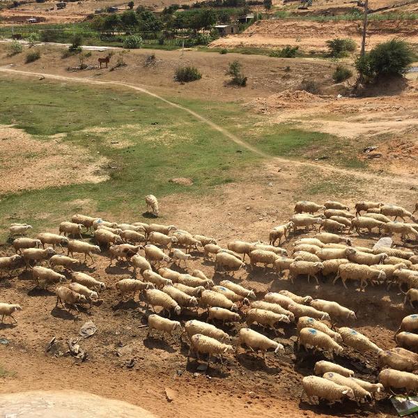 Ở Việt Nam có 3 cánh đồng nuôi cừu, tới đây ảnh có chụp kiểu gì cũng xinh! - Ảnh 4.