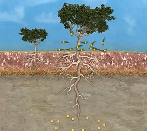 Sự thật: có một loài cây mọc ra vàng và nó có ở Việt Nam - Ảnh 2.