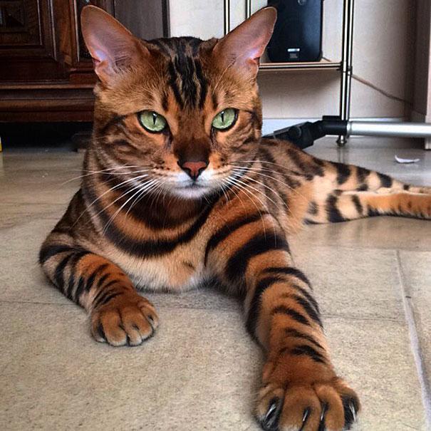 Chân dung chú mèo hổ báo nổi tiếng giang hồ năm 2016 - Ảnh 6.