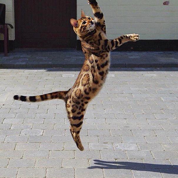 Chân dung chú mèo hổ báo nổi tiếng giang hồ năm 2016 - Ảnh 5.
