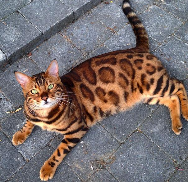 Chân dung chú mèo hổ báo nổi tiếng giang hồ năm 2016 - Ảnh 3.