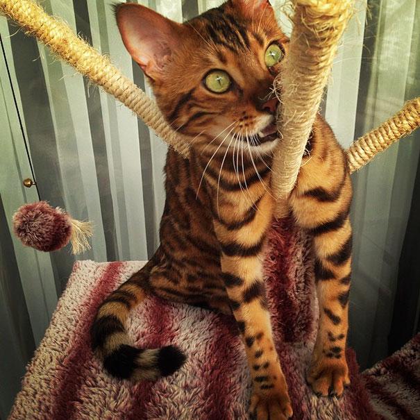 Chân dung chú mèo hổ báo nổi tiếng giang hồ năm 2016 - Ảnh 2.