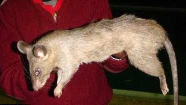 Mẹ bỏ đi chơi đêm, bé gái 3 tháng tuổi ở nhà một mình bị chuột khổng lồ cắn tử vong - Ảnh 1.