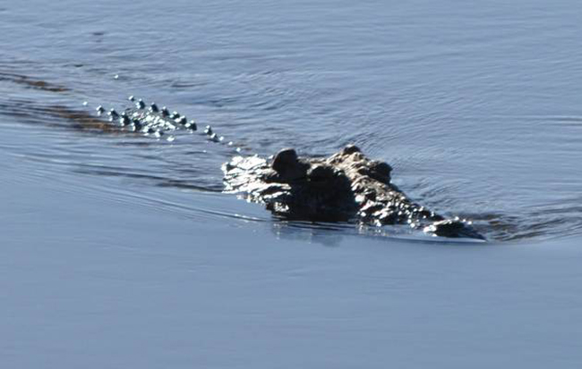 Thấy 2 con quái vật cá sấu tình nghi, cảnh sát mổ bụng chúng ra và thấy thi thể người bên trong - Ảnh 3.