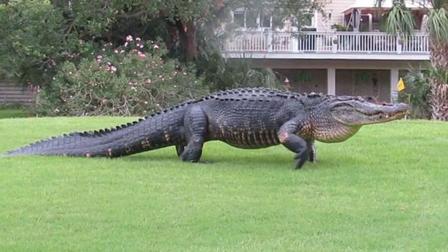 Cá sấu khổng lồ lớ ngớ đi lạc trong sân golf - Ảnh 2.