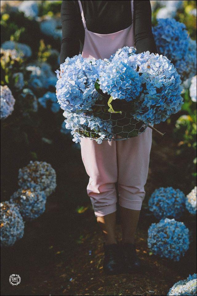 Cánh đồng hoa cẩm tú cầu đẹp mê hồn sẽ là điểm đến hot nhất ở Đà Lạt những ngày tới! - Ảnh 12.