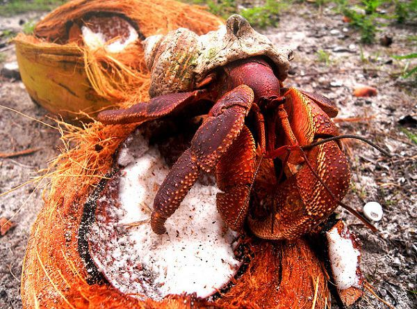 Kinh dị loài cua khổng lồ bóc dừa, bẻ chim và thống trị cả một hòn đảo - Ảnh 1.