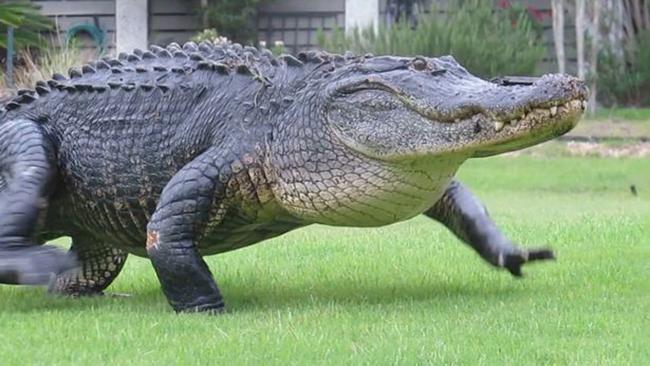 Cá sấu khổng lồ lớ ngớ đi lạc trong sân golf - Ảnh 3.