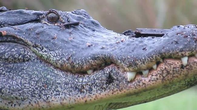 Cá sấu khổng lồ lớ ngớ đi lạc trong sân golf - Ảnh 4.
