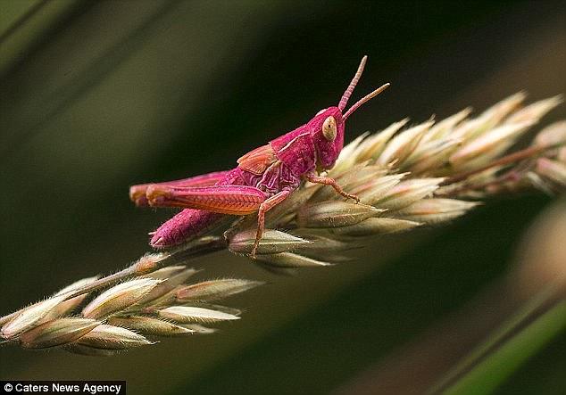 Bắt gặp con châu chấu hồng chóe lọe nằm ểnh ương trên thảm cỏ xanh mượt - Ảnh 3.
