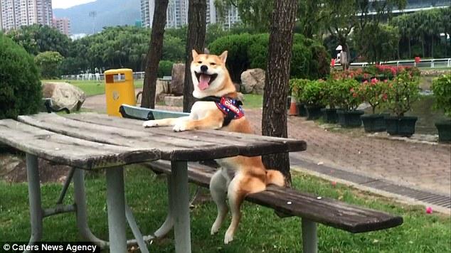 Nghĩ mình là người nên chú chó shiba đáng yêu chỉ thích cày phim và tô màu - Ảnh 3.