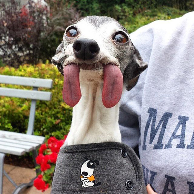 Chú chó thè lưỡi mặt ngố bị các thánh photoshop rảnh việc lôi ra chế ảnh - Ảnh 23.