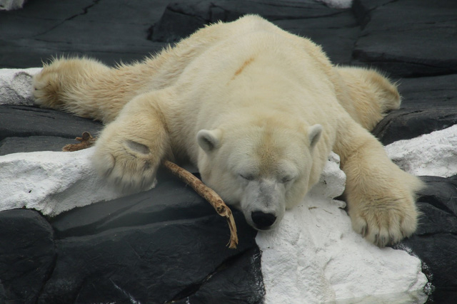 Thất tình có thể gây chết người? Ít nhất điều đó cũng xảy ra với cô gấu trắng này - Ảnh 2.