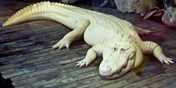 Cá sấu trắng nghi được dùng để làm túi Hermès Birkin quý hiếm đến độ nào? - Ảnh 2.