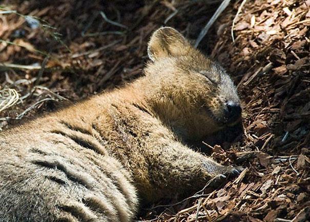 Chỉ ước mình được như loài chuột túi mini hạnh phúc và vui vẻ nhất thế gian - Ảnh 19.
