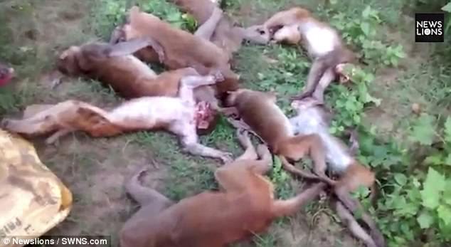 Độc Lạ: Nhìn thấy hổ lởn vởn, 12 con khỉ đồng loạt rủ nhau chết cứng vì lên cơn đau tim