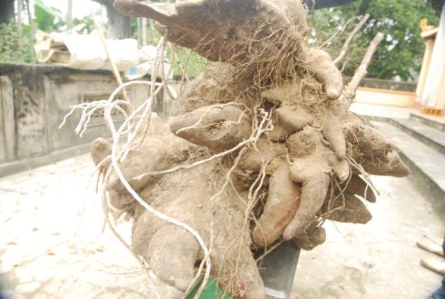 Xôn xao củ khoai vạc rồng khủng nặng 73kg ở Nghệ An - Ảnh 3.