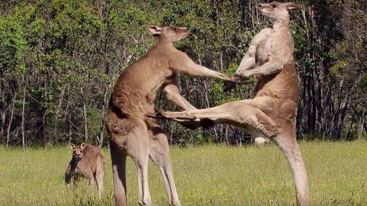 Kết quả hình ảnh cho hình ảnh đẹp con chuột túi Kangaroo