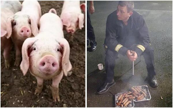 20 chú lợn được cứu khỏi đám cháy, nửa năm sau lại bị đem làm xúc xích để tỏ lòng cảm ơn đội cứu hỏa