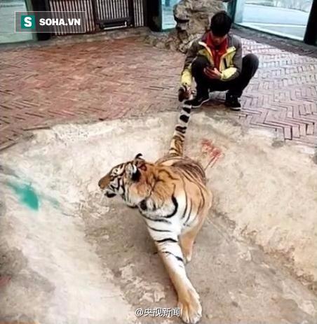 Clip: Nam thanh niên đùa giỡn với hổ, dư luận sục sôi phản ứng - ảnh 1