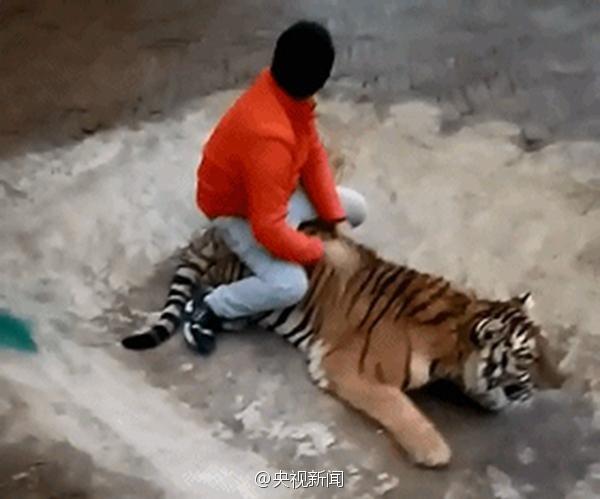Clip: Nam thanh niên đùa giỡn với hổ, dư luận sục sôi phản ứng - ảnh 2