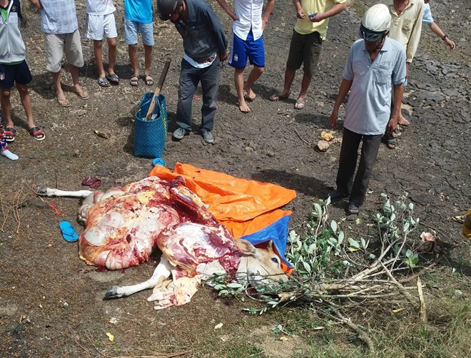 Bắt đôi tình nhân trộm bò xẻ thịt tại chỗ