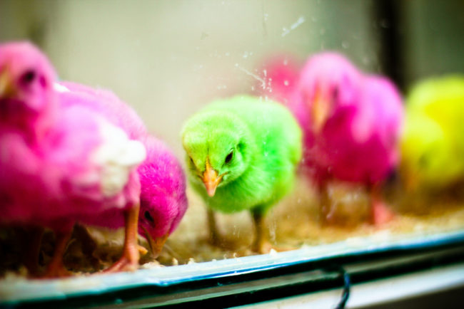 Sự thật kinh hoàng đằng sau những chú gà con sở hữu màu lông 7 sắc cầu vồng - Ảnh 2.