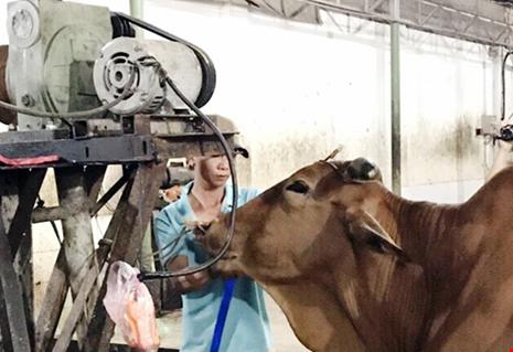 Mỗi con bò kiếm lời thêm 20 kg nhờ bơm nước lã - Ảnh 1.