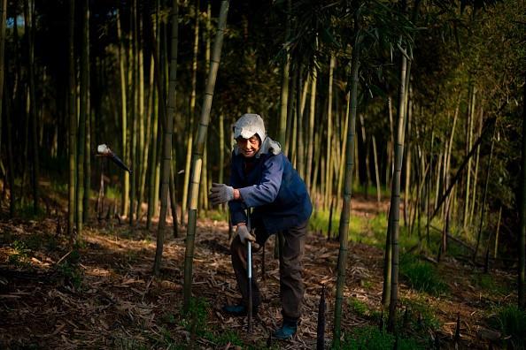 Rộn ràng mùa thu hoạch măng tươi ở Chiết Giang - Ảnh 2.
