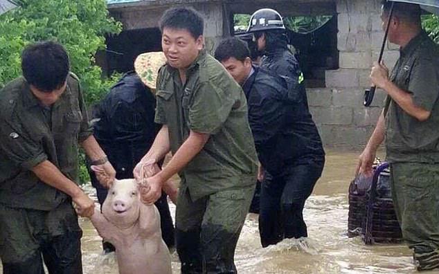 Thêm thông tin về chú lợn tươi cười hớn hở, được lực lượng cứu hộ đưa ra khỏi vùng lũ