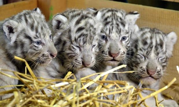 Ấn Độ: Vì một sơ ý chết người, nhân viên sở thú bị 2 chú hổ đoạt mạng ngay trong chuồng - Ảnh 1.