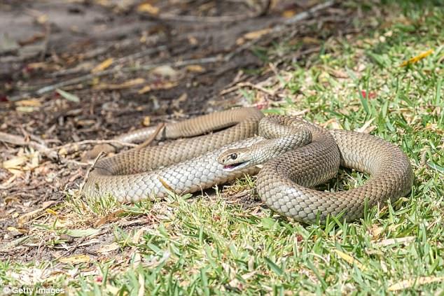 Cận cảnh loài rắn chuyên cắn người khi ngủ, gây ra cơn ác mộng kinh hoàng ở Úc - ảnh 3