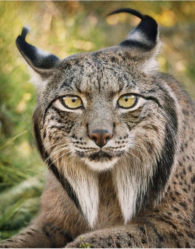 Động lòng ánh mắt trong bộ ảnh các loài động vật có nguy cơ tuyệt chủng - Ảnh 7.