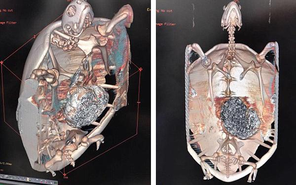 Nàng rùa nhập viện vì tắc thở, kết quả X-quang cho thấy trong bụng nó còn chứa hàng nghìn đồng xu - Ảnh 2.