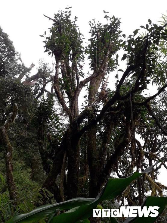 Choáng ngợp giữa khu rừng báu vật chè hoang dã ngàn năm tuổi ở Tây Côn Lĩnh - Ảnh 9.