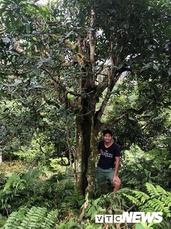 Choáng ngợp giữa khu rừng báu vật chè hoang dã ngàn năm tuổi ở Tây Côn Lĩnh - Ảnh 2.