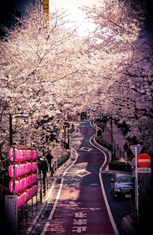 Cuộc sống, cái chết và sự tái sinh - triết lý gói gọn trong một đóa hoa Sakura - Ảnh 3.