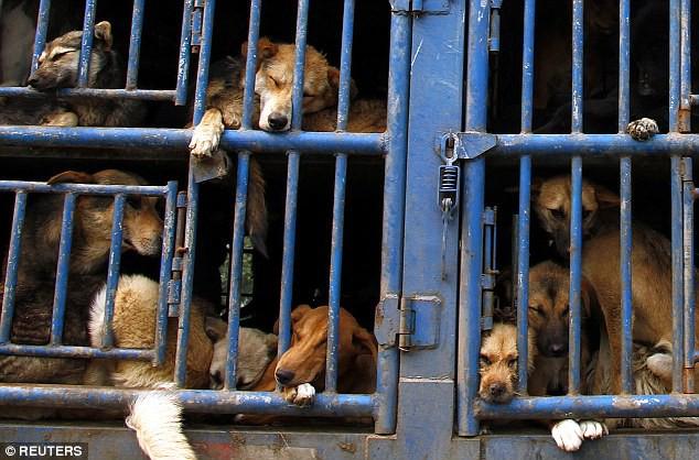 Bi kịch của Ngao Tây Tạng - từ thần khuyển triệu đô thành những con thú bị ruồng bỏ - Ảnh 4.