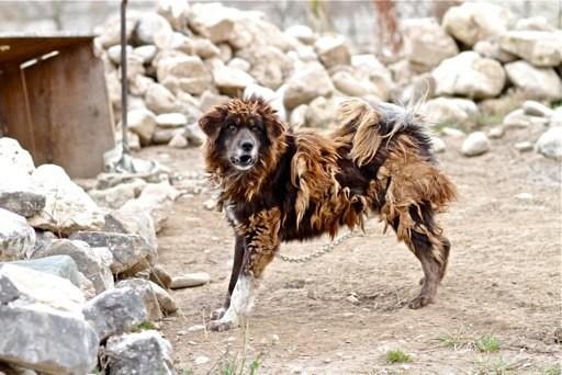 Bi kịch của Ngao Tây Tạng - từ thần khuyển triệu đô thành những con thú bị ruồng bỏ - Ảnh 5.