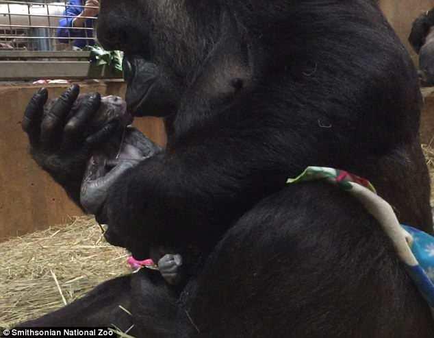 Khoảnh khắc lay động hàng triệu người xem: Lần đầu làm mẹ, cô khỉ đột nâng niu, khẽ hôn nhẹ lên môi con - ảnh 1
