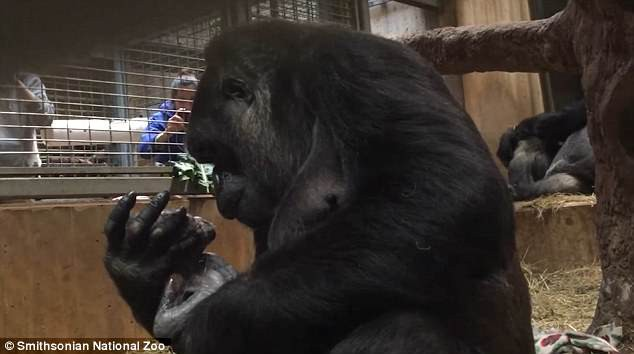 Khoảnh khắc lay động hàng triệu người xem: Lần đầu làm mẹ, cô khỉ đột nâng niu, khẽ hôn nhẹ lên môi con - ảnh 2